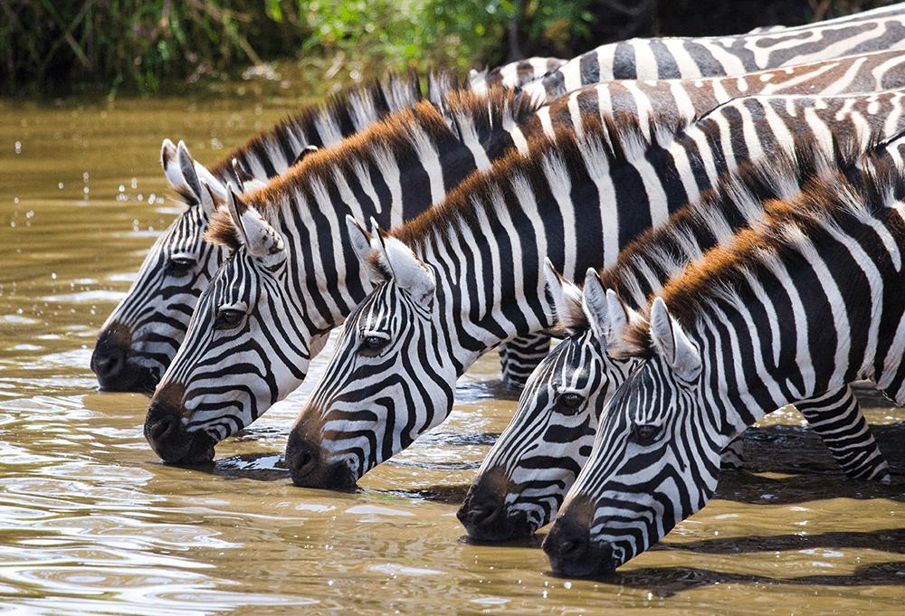 Herd of zebras drinking, image for talent analytics