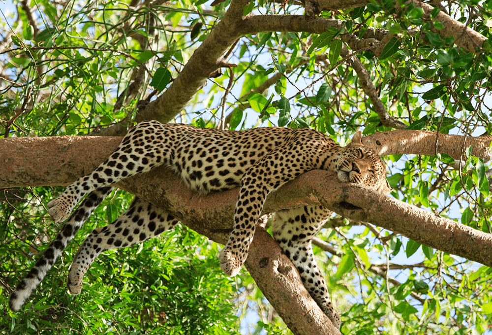 Leopard sleeping in tree image for HR strategy and compliance