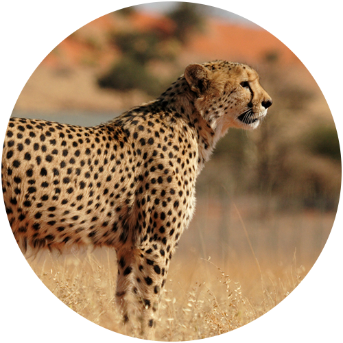 ArcTree HR consulting: cheetah circle graphic